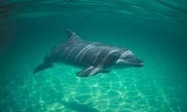 Gulf's dolphins pay heavy price for Deepwater oil spill | OUR OCEANS NEED US | Scoop.it