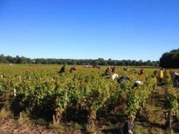 2013 Bordeaux Vintage Report and Harvest Summary   Vitabella Wine Daily Gossip   Scoop.it