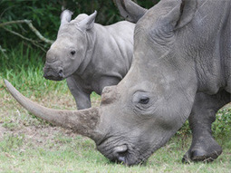 Rhino DNA project sees arrests | What's Happening to Africa's Rhino? | Scoop.it