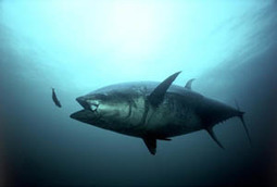 Endangered species status sought for bluefin tuna | Farming, Forests, Water, Fishing and Environment | Scoop.it