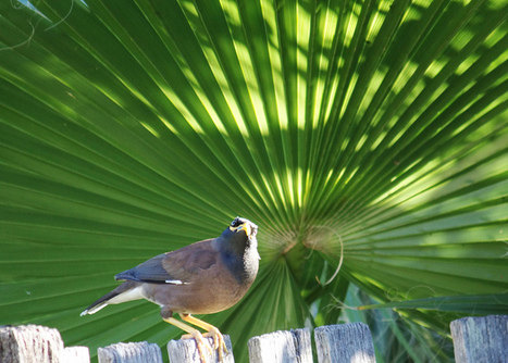We love to hate the common myna, but what should we do about it? | this curious life | Scoop.it