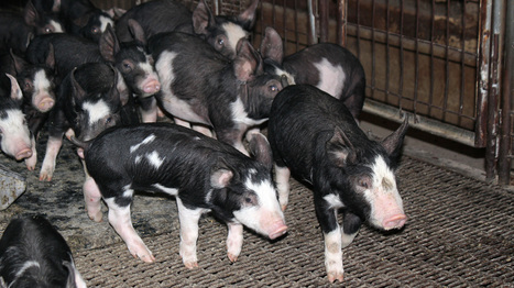 Pig Virus Continues To Spread, Raising Fears Of Pricier Bacon | North Carolina Agriculture | Scoop.it