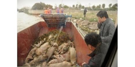 Chine: un scandale de porcs qui en dit long sur l'agroalimentaire   L'évolution de l'humanité !!!!!   Scoop.it
