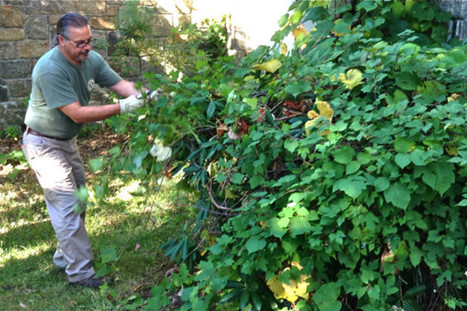 Nature's Invaders: Invasive Plants, Pests In Our Westchester Landscapes - The Daily Voice   Communication and citizen sciences on pests and invasive alien species   Scoop.it