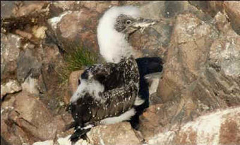 Gannet Stoning - An Animal Rights Article from all-creatures.org   Wildlife and Conservation   Scoop.it