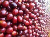 Hawaiian coffee's kingdom grows beyond kona | Coffee News | Scoop.it