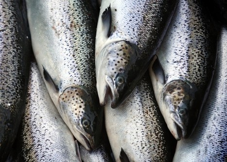 One Of The U.S.'s Top Salmon Providers Just Lost Millions Of Salmon #climate | Messenger for mother Earth | Scoop.it