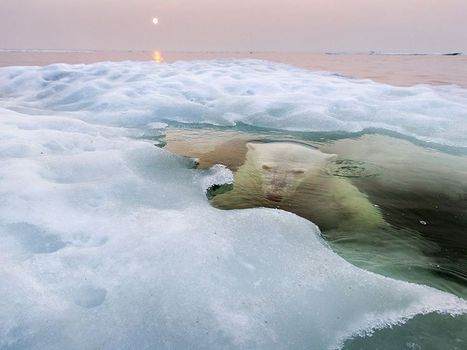 Polar Bear Picture -- Animal Wallpaper -- National Geographic Photo of the Day | nature | Scoop.it