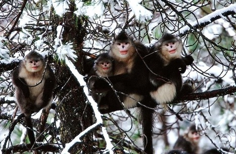 Photos: The Mysterious Chinese Monkey That's 'as Endangered as the Panda' | Year 2 Science - Caring for the environment | Scoop.it