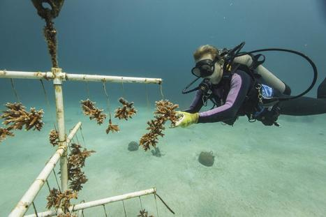 Mote partners with Nature Conservancy on coral restoration | Lorraine's Environmental Change &  Management | Scoop.it