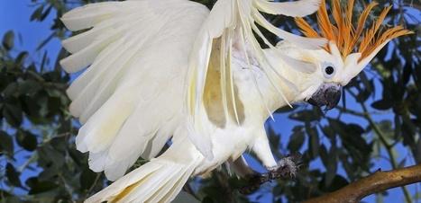 Le commerce illégal menace gravement les oiseaux d'Indonésie   Biodiversité   Scoop.it
