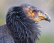 Back on the Brink: Will the Lead In Bullets Finally Kill Off the Condor? by Ted Williams: Yale Environment 360   Sustain Our Earth   Scoop.it