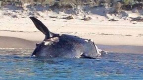 Washed up whale set for composting - ABC North and West SA - Australian Broadcasting Corporation | All about water, the oceans, environmental issues | Scoop.it