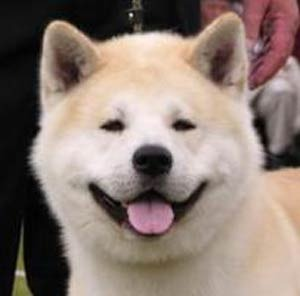 Akita - World's Most Expensive Dog Breeds | Breeds and Such | Scoop.it
