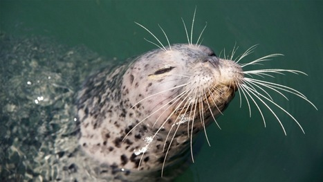 Researchers create artificial whiskers to uncover the secrets of harbor seals' tracking abilities | animals and prosocial capacities | Scoop.it