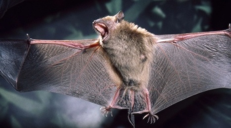 Non, les chauves-souris ne sucent pas le sang des humains | l'écologie en milieu urbain | Scoop.it