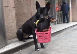 Adorable dog carries injured puppy around town in basket (VIDEO) - New York Daily News | Cycling | Scoop.it