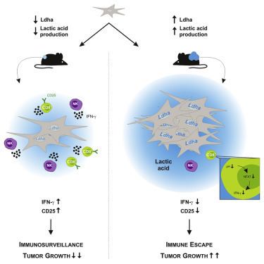 LDHA-Associated Lactic Acid Production Blunts Tumor Immunosurveillance by T and NK Cells   Melanoma BRAF Inhibitors Review   Scoop.it