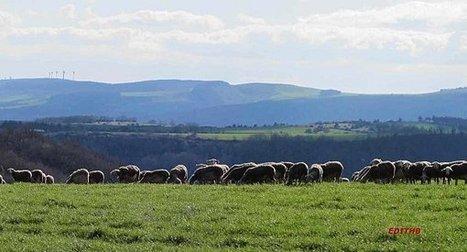 un troupeau de brebis de race lacaune dans les environs de millau ... | Aveyron | Scoop.it