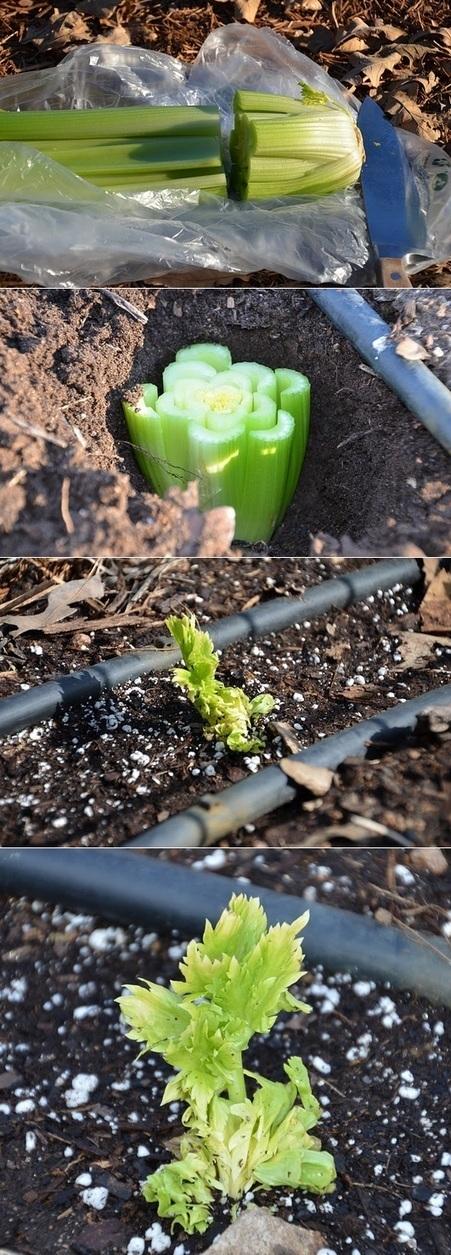How to grow celery from stalk | Backyard Gardening | Scoop.it