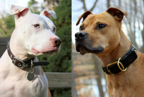 The Incredible Story Of Wallace And Hector, Pit Bull Brothers Turned Breed Ambassadors | Animal welfare | Scoop.it