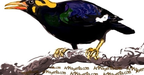 Bird of the Day: Hill Myna or Beo   Birding in the news   Scoop.it