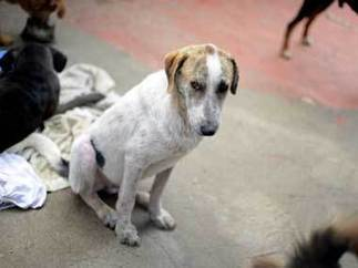 Rabies is just one reason why stray dogs are a snarling menace in India - Firstpost | Modern dog training methods and dog behavior | Scoop.it