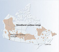 Caribou Facts Sheet - Canadian Geographic Kids! | Caribou | Scoop.it