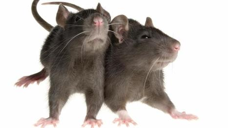 Strange tail in Netherlands as rats scurry past dogs in crime fighting's world order | the place per se | Scoop.it