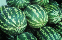 Pollenizer Research Should Help Seedless Watermelon Farmers | NC State News | North Carolina Agriculture | Scoop.it