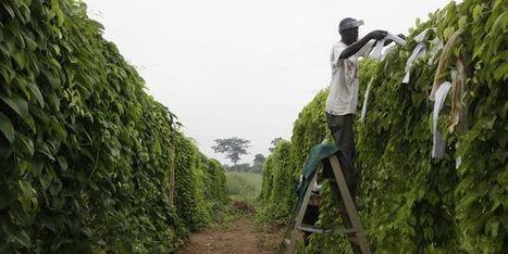 Banane, orge et manioc, le tiercé gagnant du réchauffement | Questions de développement ... | Scoop.it