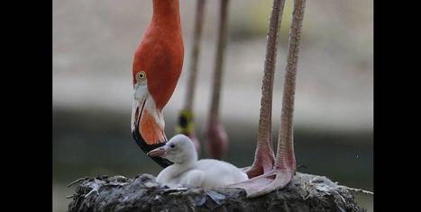 Crías de flamencos  rojos, nueva sensación en el Zoológico Santa Fe (Medellín) | Agua | Scoop.it
