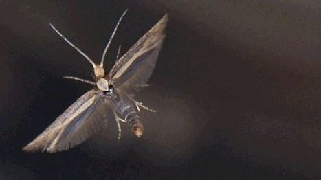 Rothamsted mention: GM moths 'can curb pest invasion' | BIOSCIENCE NEWS | Scoop.it