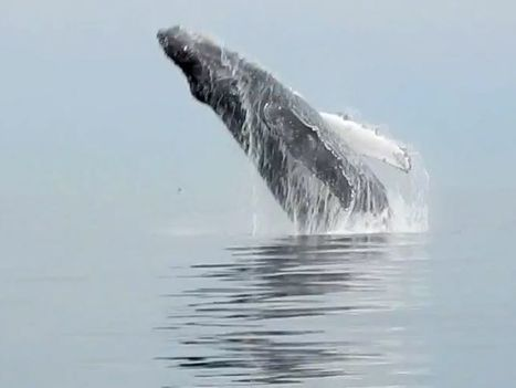 Fisheries investigation after second deadly whale entanglement in B.C. waters | Discovery Project | Scoop.it