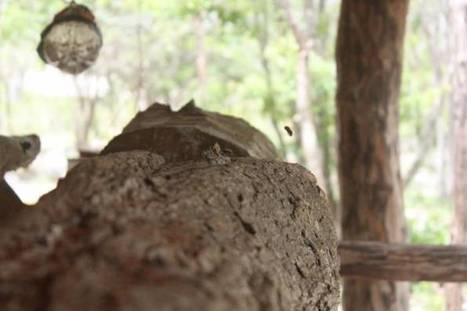 Se suman más comunidades mayas al cuidado de la abeja melipona - Sipse.com | Mayapan | Scoop.it