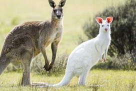 Rare albino kangaroo's incredible tale of survival in the Australian outback | Australian Culture | Scoop.it