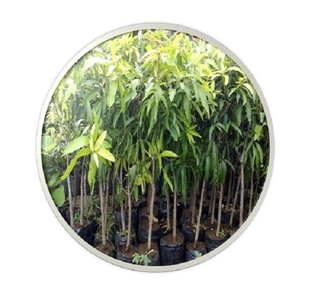 Fruit Plant manufacturers in Kaimganj Farrukhabad & India | sachin nursery | Scoop.it
