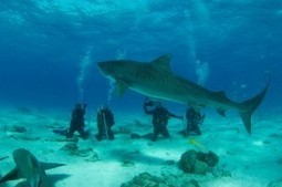 Turning the Tide on Sharkonomics with Shark Tourism and ... - SoCap | preservemarinelife | Scoop.it