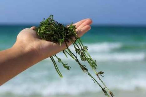 De l'algue pour faire décoller des avions ? - bibamagazine.fr | Algues et énergies | Scoop.it
