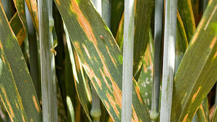 Higher azole rates protect SDHI fungicides - FarmersWeekly | Fungicide Hormesis | Scoop.it