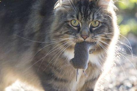Feral cats in Australia kill 7 animals per day | Biodiversity protection | Scoop.it