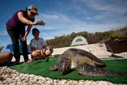 Sea turtle conservation in Baja California Sur | Baja California | Scoop.it