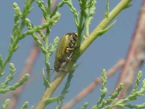 There's a new bug in town | Invasives and Restoration | Scoop.it