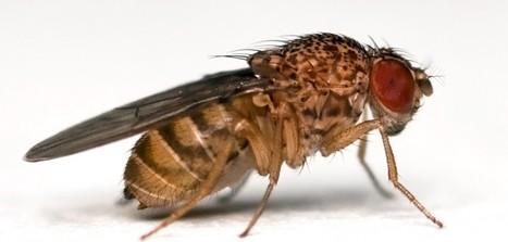 On a réussi à lire dans les pensées d'une mouche - SciencePost | EntomoScience | Scoop.it
