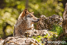 Trois associations sauvent quatre loups ! | animals rights and protection | Scoop.it