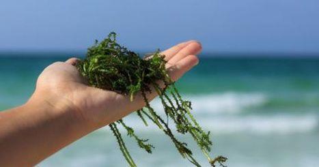 L'algothérapie | Valorisation des algues | Scoop.it