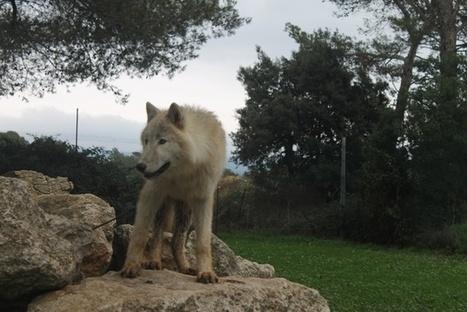 Les Loups du Castel ont besoin d'aide | Communiquaction | Communiquaction News | Scoop.it