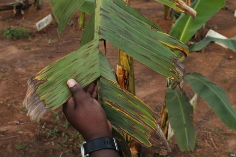 Growing Controversy Over GMO Bananas in Uganda | Food issues | Scoop.it
