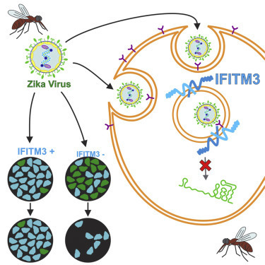 The IFITMs Inhibit Zika Virus Replication: Cell Reports | New Science | Scoop.it