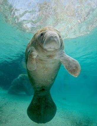 November is Manatee Awareness Month | GarryRogers Biosphere News | Scoop.it